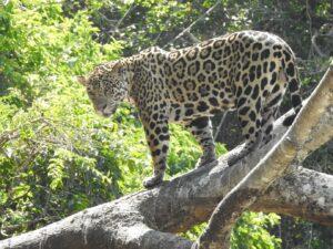 Jaguar on a tree limb in Ecuador,© Martin Schaefer/Fundación Jocotoco