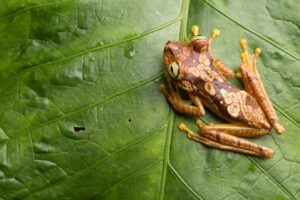 Imbabura Tree Frog sitting on a leaf. ©James Muchmore