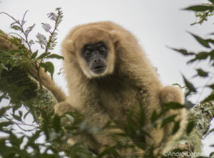 Southern Muriqui or Southern Woolly Spider Monkey looking at the camera