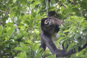 Geoffroy's spider monkey in Belize ©CSFI