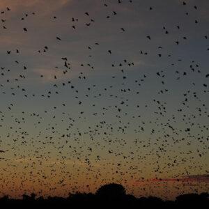 Straw-cloured-fruit-bats,-dusk ©Kasanka Trust