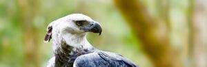 Harpy Eagle ©Marcus VDT/Shutterstock