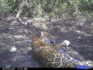 Jaguar in Argentina's El Pantanoso reserve