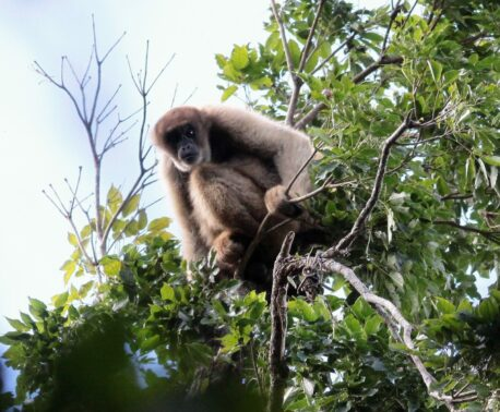 Southern Muriqui in REGUA's reserve in Brazil's Atlantic Forest