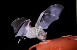 Bokermann's Nectar Bat