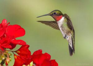 Ruby-throated Hummingbird, by Rick Alabama