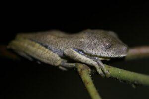 Sensitive treefrog