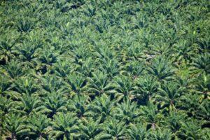 Aerial view of palm oil plantations, Guatemala. ©FUNDAECO