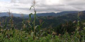 Maize/deforestation on the edge of Güisayote
