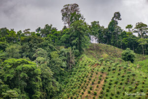 Canandé Reserve boundary and palm plantation - Scott Tregeser