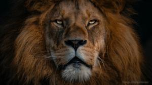 Male Lion portait