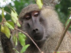 Yellow Baboon, Tanzania