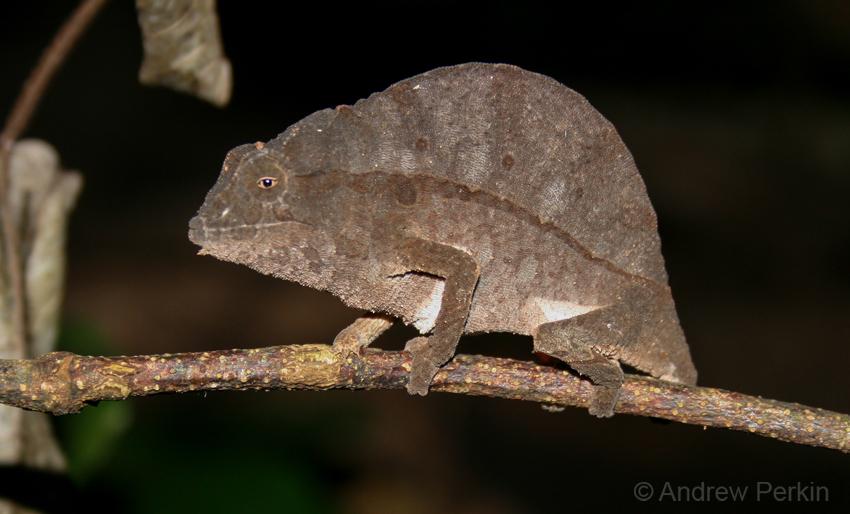 Bearded Pygmy Chameleon on branch