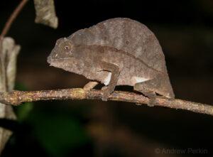 Bearded Pygmy Chameleon on. branch