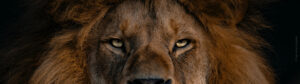 Male Lion eyes close-up