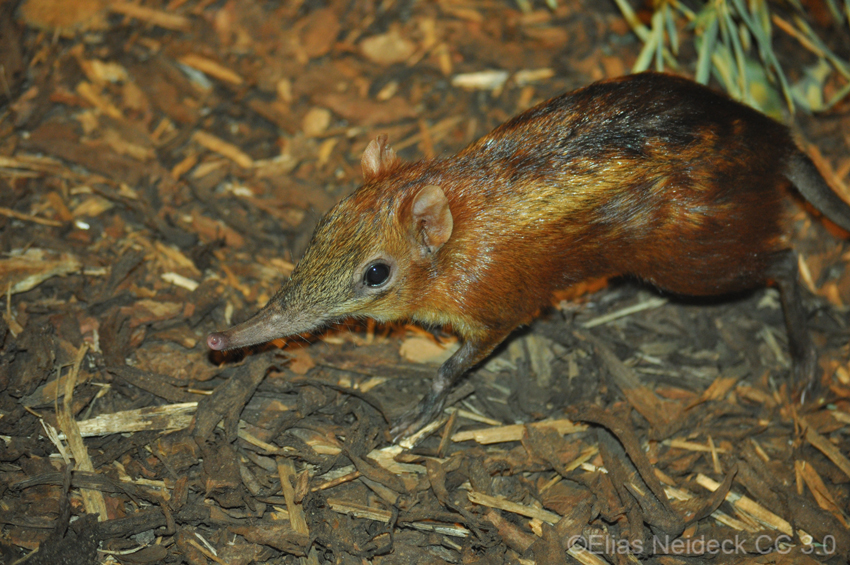 A Chequered Sengi foraging on the ground
