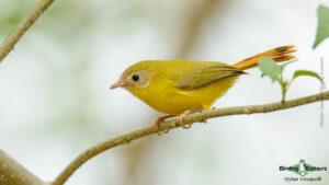 Livingstone's-Flycatcher