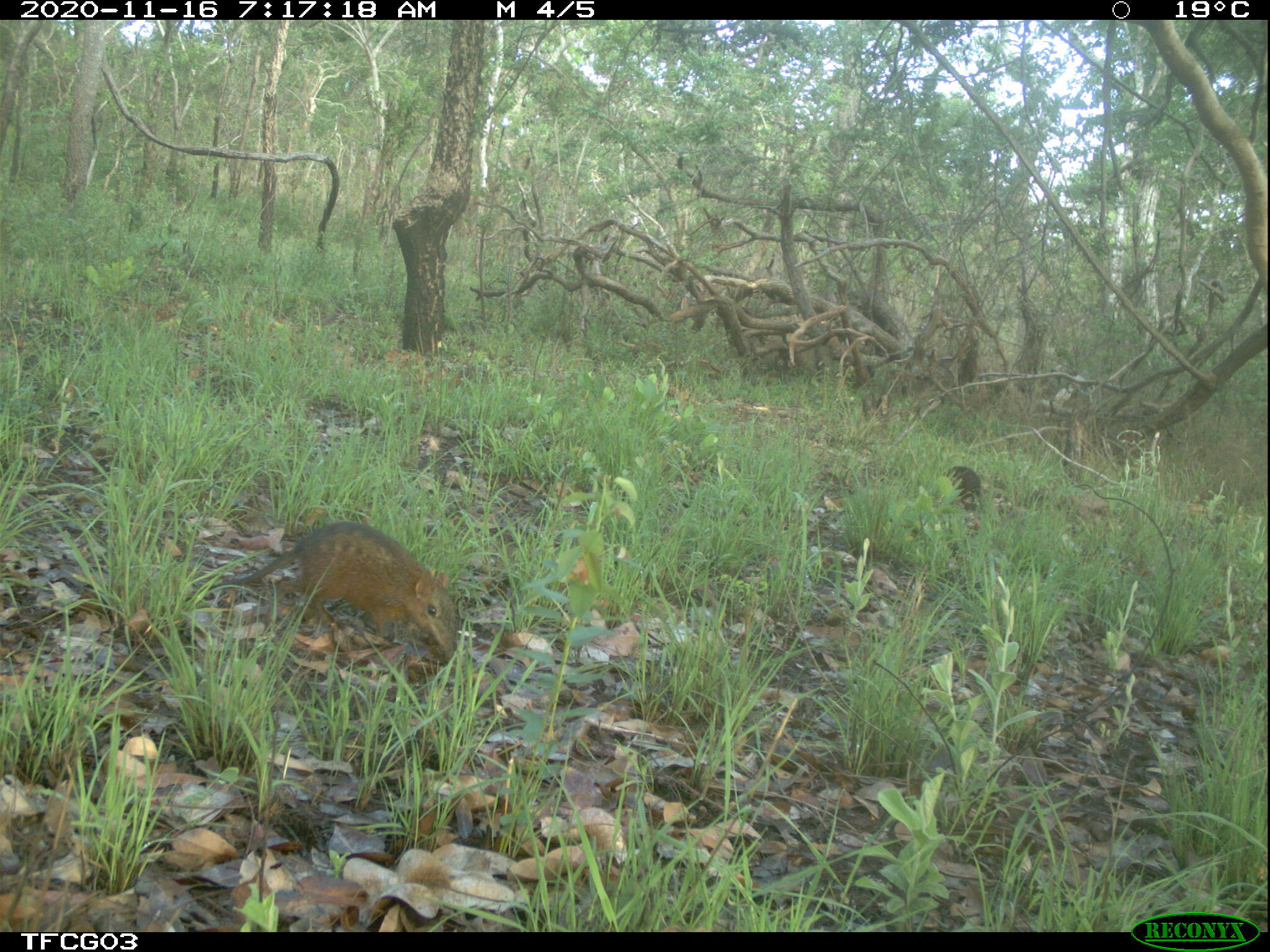 Chequered Elephant Shrew