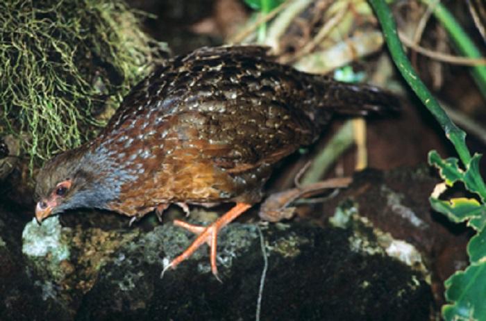 Bearded Wood Partridge