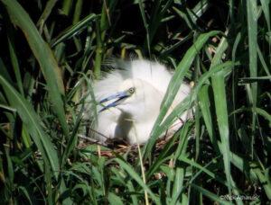 Madagascar Pond Heron