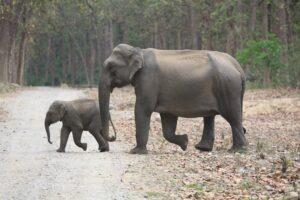Asian Elephant and calf