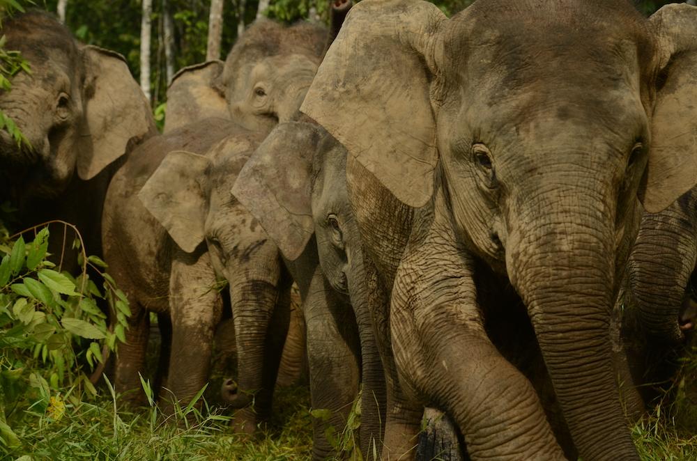 Bornean Elephant herd