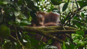 Bornean Orangutang baby